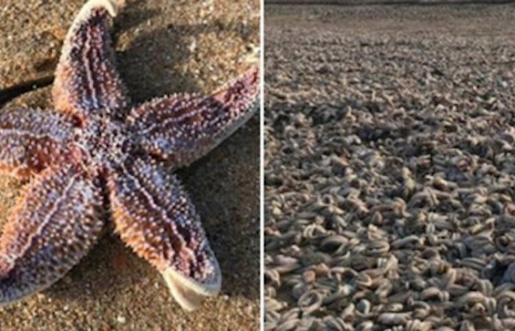 """Un """"Armagedón"""" de estrellas marinas se desató en una playa de Reino Unido"""