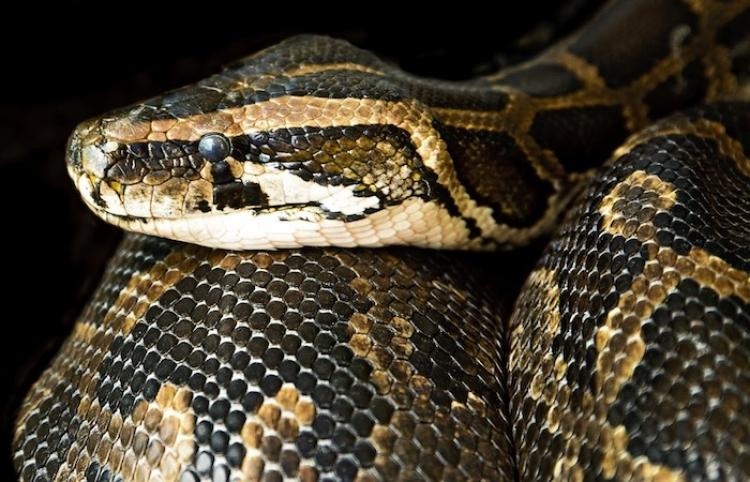 Una serpiente desgarra a su presa aún viva antes de engullirla