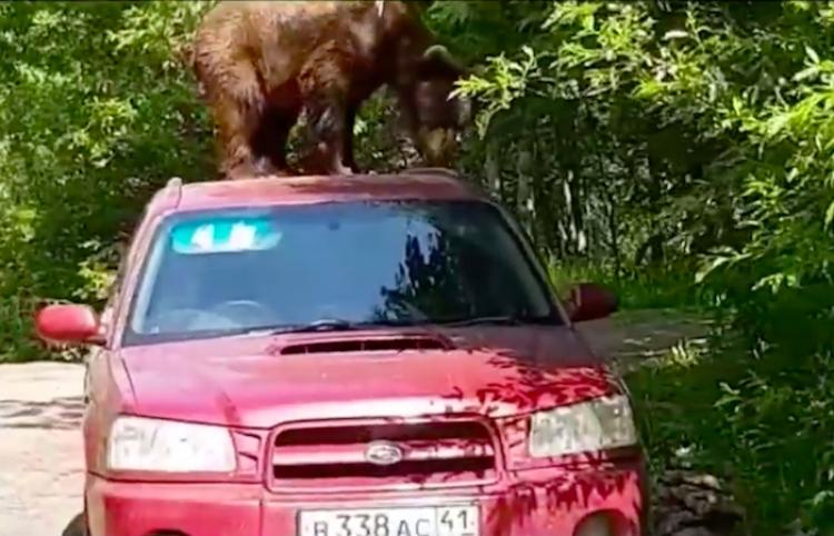 Un oso se sube al techo de un automóvil en Rusia para intentar robar en su interior