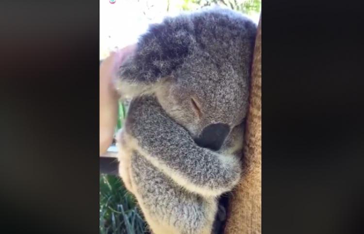 Nada es más tierno que un Koala durmiendo...