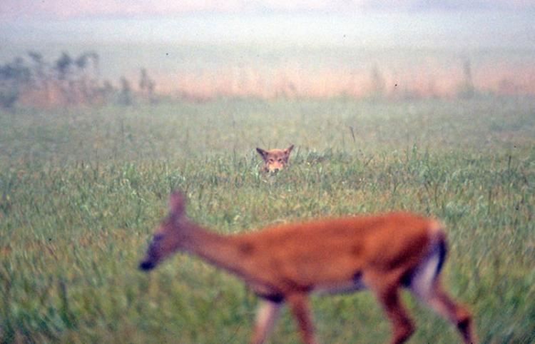¡El mundo al revés!: Un lobo huyendo de un ciervo