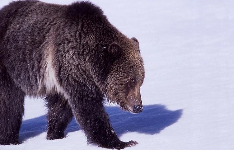 Unos pescadores rusos persiguen en motos de nieve a un oso en las islas Kuriles