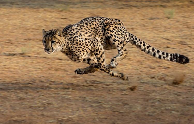 Trata de salvar a un leopardo herido, pero algo sale terriblemente mal
