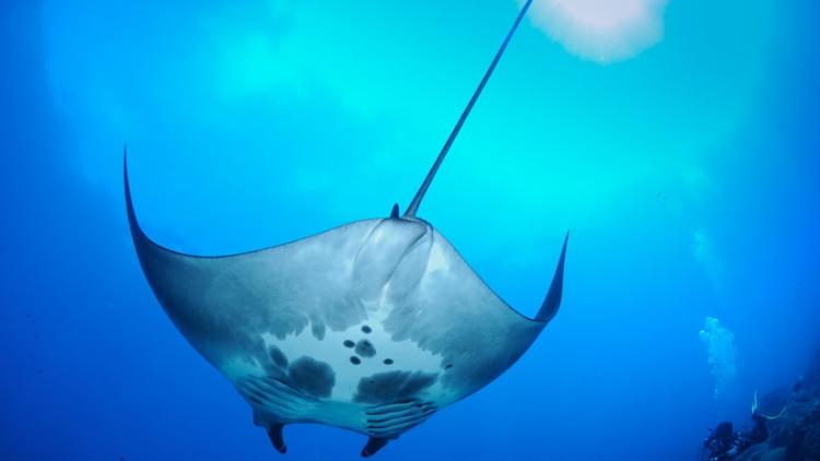 Descubren en el golfo de México el primer vivero natural de mantas gigantes