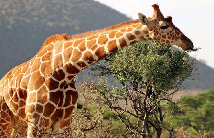 Una jirafa resiste el ataque de un cocodrilo y muere devorada por leones