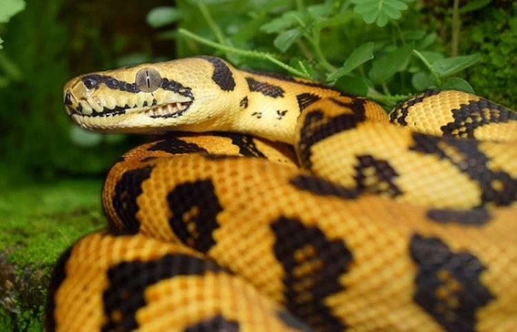 Una serpiente trata de comerse a sí misma y su dueño se burla