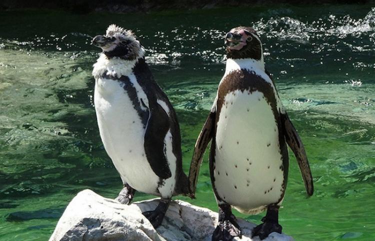 Una pareja de pingüinos que pasea 'de la mano' por la playa