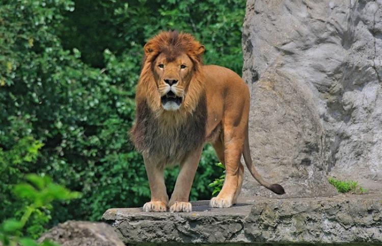 Un hombre salta al recinto de una leona en un zoo y se juega la vida