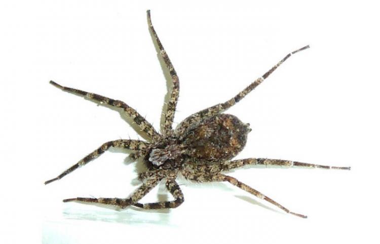 """Las arañas planas cazan """"en un abrir y cerrar de ojos"""""""