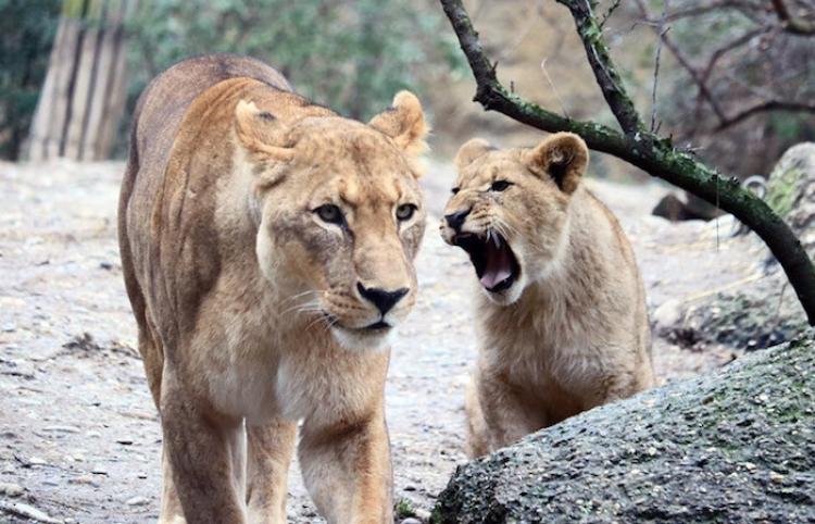 Dos leonas atrapan a un buitre ante el horror de los visitantes de un zoo
