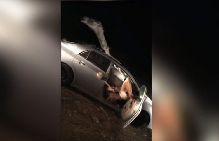 Triste video muestra como un camello queda atorado dentro de un carro por 4 horas