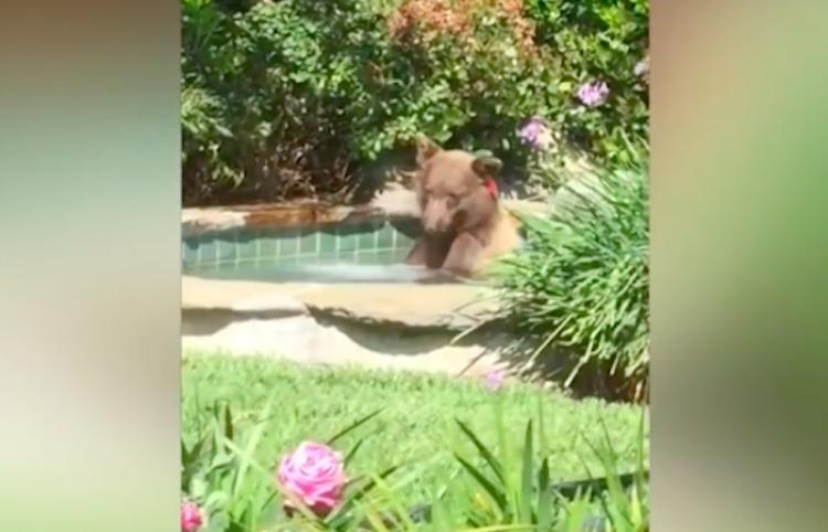 Un oso disfruta de un sensual baño en un 'jacuzzi' en California
