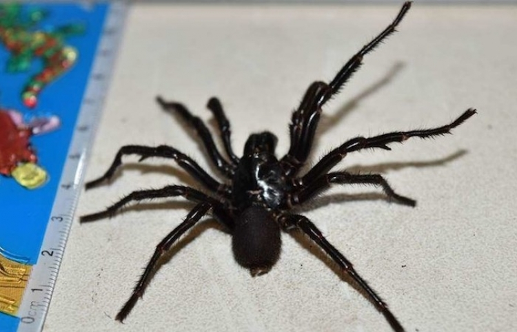 Esta es Colossus, la araña venenosa más grande de Australia