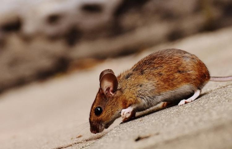 Descubren una rata con una planta sobre la espalda