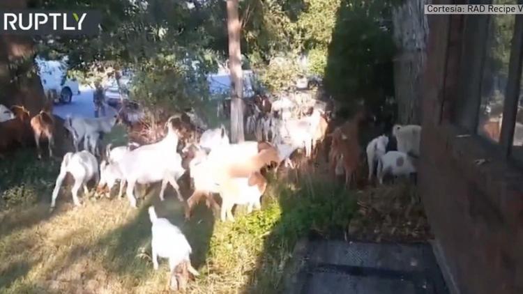 Decenas de cabras invaden una ciudad de EE.UU.