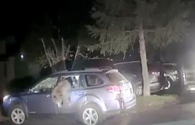 Un policía rescata a un oso atrapado dentro de un coche en EE.UU.