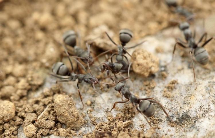 Hordas de hormigas forman un 'puente colgante' con sus cuerpos para atacar avispas