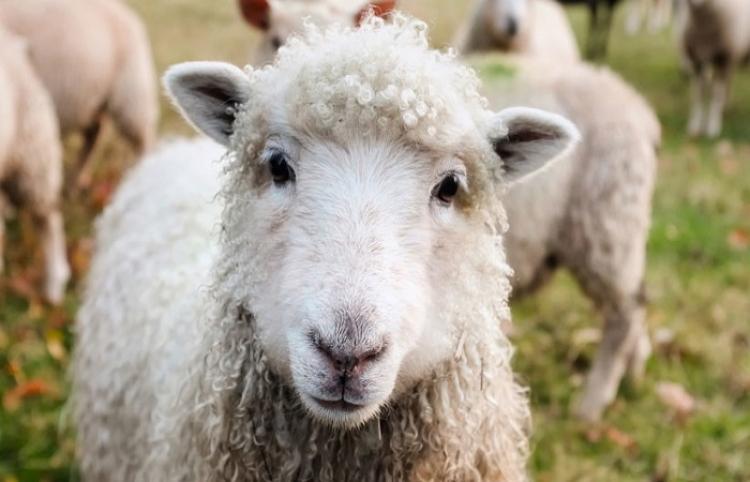 Una genial oveja abre una puerta con la boca