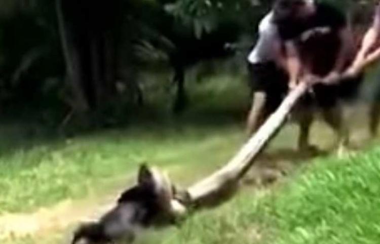 El dramático rescate de un perro al que una anaconda arrastró hasta un río para comérselo