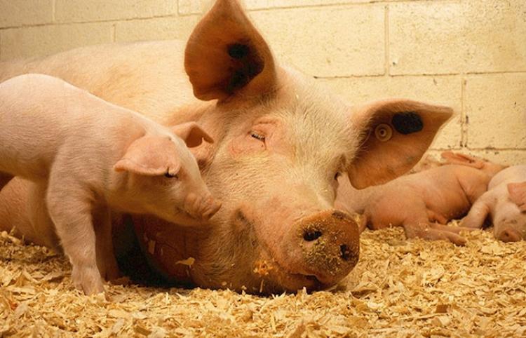 Nace en China un cerdo mutante con 'cara humana'