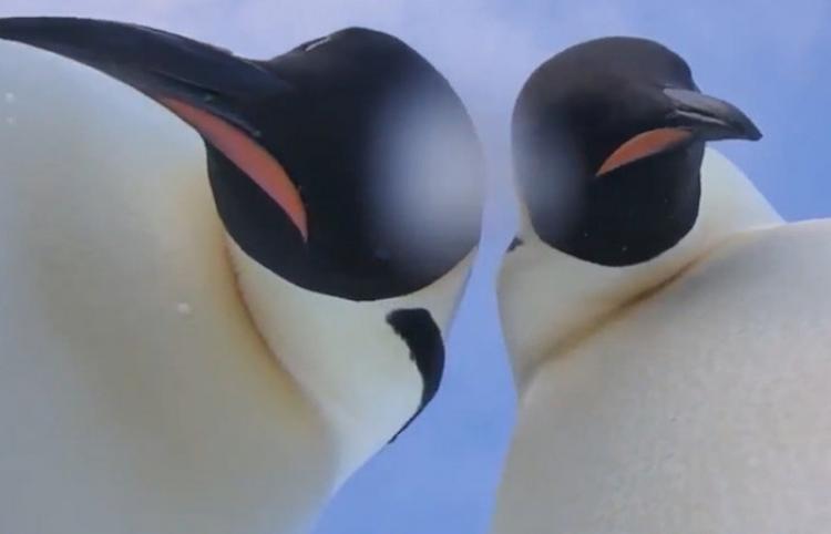 Dos curiosos pingüinos de la Antártida hallan una cámara y se hacen un gracioso selfie