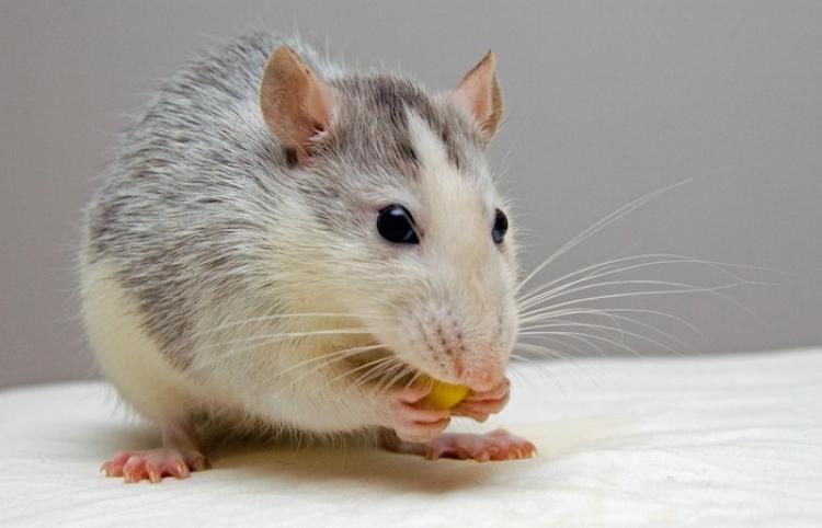 La insólita pelea entre una rata y una serpiente tiene un desenlace inesperado