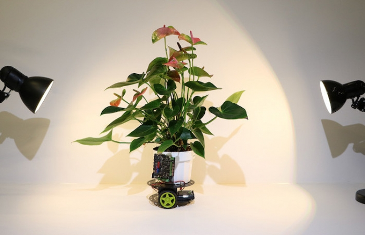 Crean una planta-robot capaz de desplazarse en busca de luz