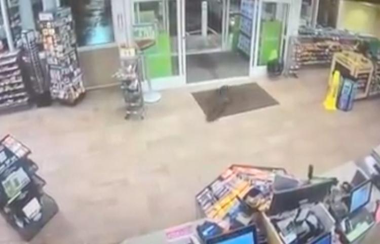 Una pareja de castores 'sale de compras'