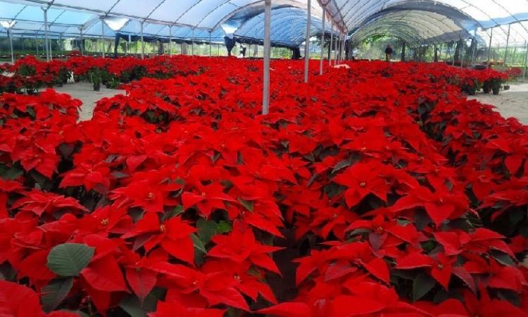 Festival de la Nochebuena en Veracruz exhibe 120 mil plantas para venta