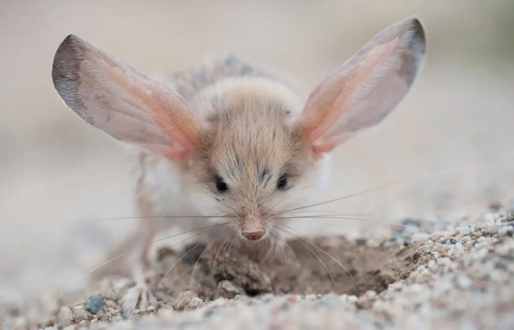 ¿Qué criatura tiene las orejas más grandes del reino animal?