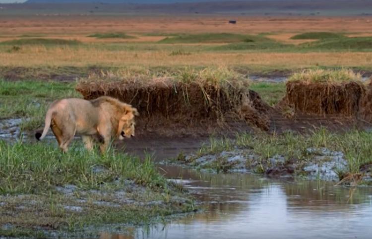 Increíble pero cierto: León sobrevive al ataque de una manada de más de 20 hienas