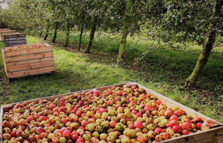 Normandía, ciudad de la manzanas para la Sidra