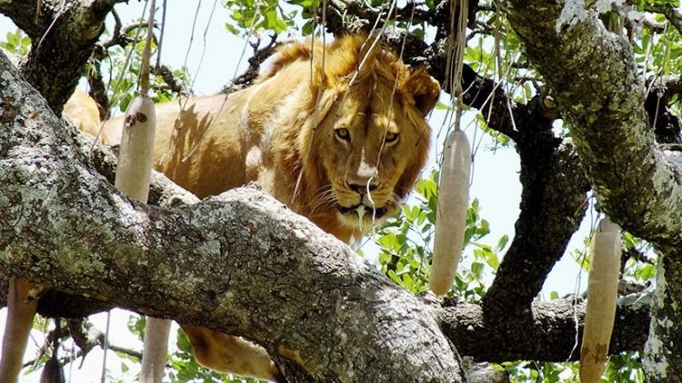 Un león se queda atrapado en un árbol por miedo a bajar