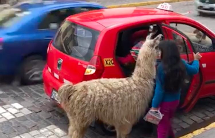 Impresiona a las redes un taxista en Cuzco y su inclusión