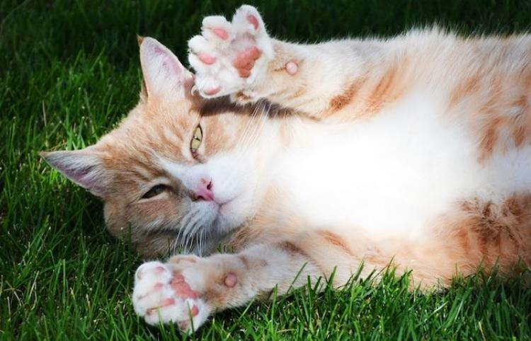 ¡Quien la sigue, la consigue! Un gato se hace el dormido para robar una cena ajena