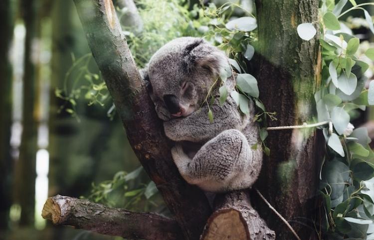 Aumentan esfuerzos para alimentar a animales en Australia