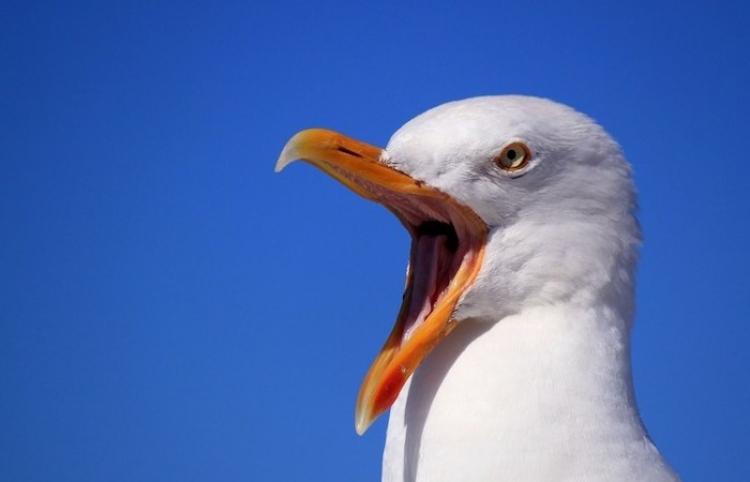 ¿Qué lindas las gaviotas? Esta paloma no opina lo mismo