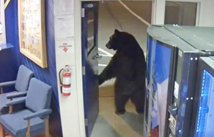 Un oso en dos patas realiza una visita a una estación de policía en California