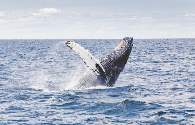 Avistamiento de ballenas, espectáculo ideal para el turismo en Vallarta