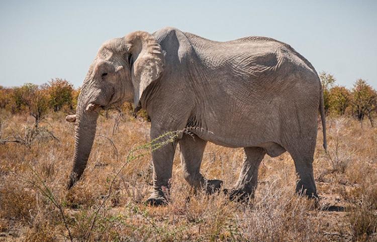 Un elefante se enfrenta a tres hipopótamos por el territorio